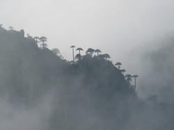 Araucarias del Cañi