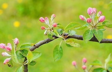 pink-buds-trees-twig-fruit_edited.jpg