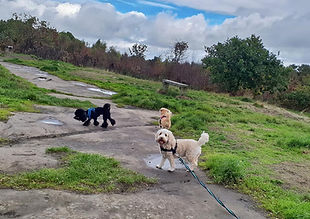 Dogs walking at bidston hill