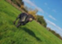Dog with walker in Leasowe