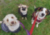 Dog walker group walk