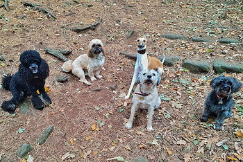Dogs walking in a group at Bidston Hill