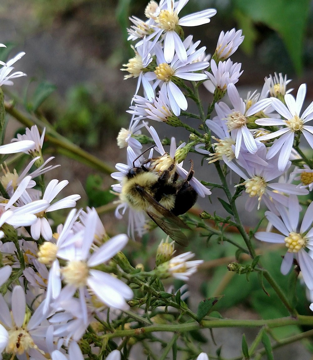 Male bumble bee (B. impatiens, I believe) on aster