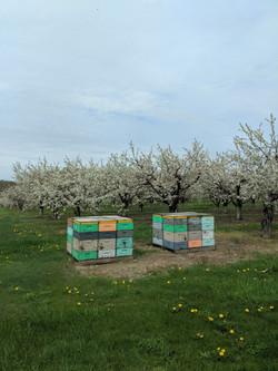 Honey bees in Tart Cherry