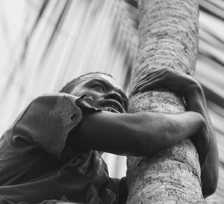 La quête du cocotier