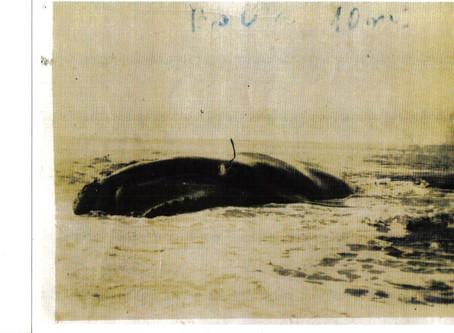 Baleia Jubarte arpoada por pescadores em Barra Velha