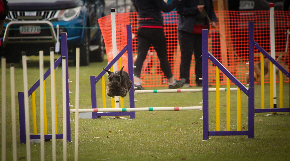 Murphy (a client schnauzer) at agility