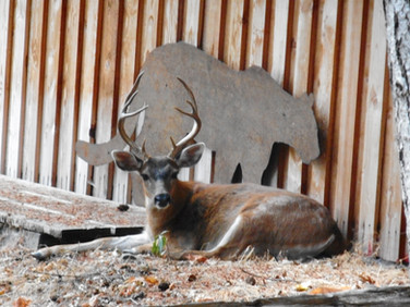 Mountain lion and black-tailed deer