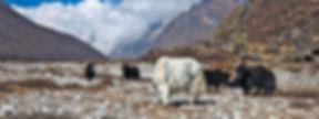18859_Herd-of-yaks-grazing.jpg