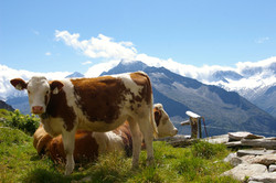 Die Kühe