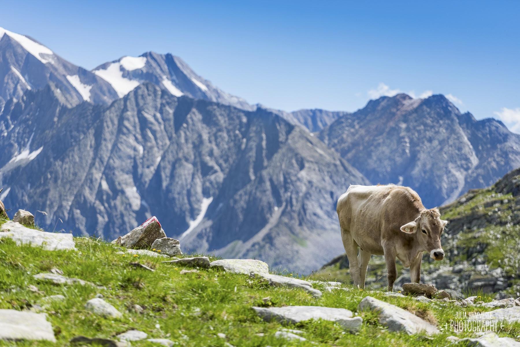 Kühe von der Alm