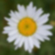 Golden Spirals in a daisy flower