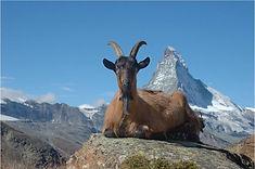 Matterhorn linselus