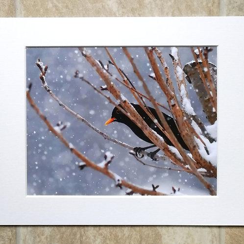 Snowy Blackbird - 10x8 mounted print