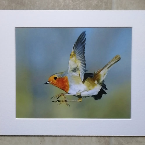 Robin arrival - 10x8 mounted print