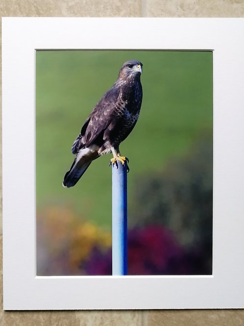 Buzzard on a post 3 - 10x8 mounted print