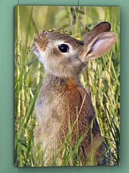 12x8 canvas print - Cute young Rabbit