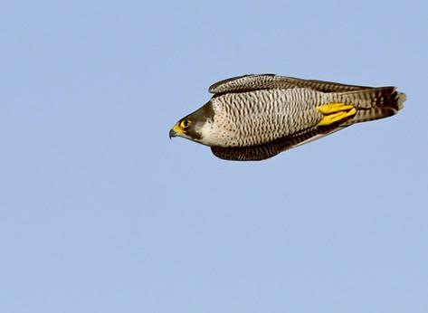 27. Peregrine Falcon.JPG