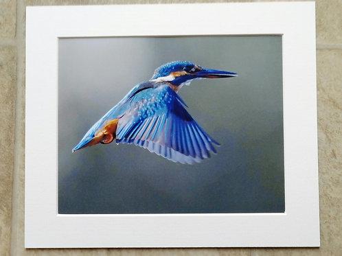 Wings down Kingfisher - 10x8 mounted print