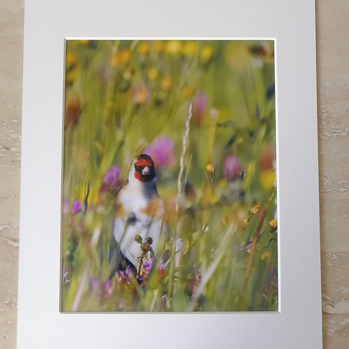 Goldfinch 10x8 mounted print