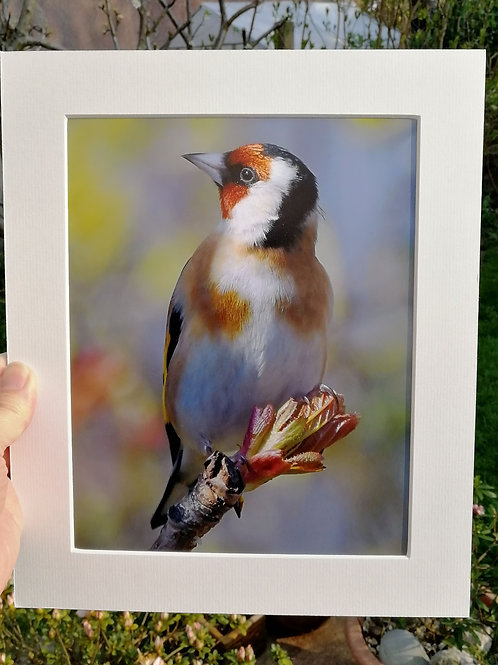 'Spring Goldfinch' 10x8 signed & mounted print