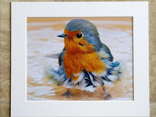 Bathing Robin - 10x8 mounted print