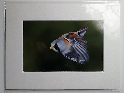 Bearded Tit in flight - 6x4 mounted print