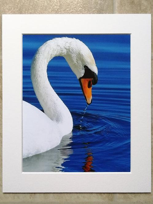 Graceful Swan - 10x8 mounted print
