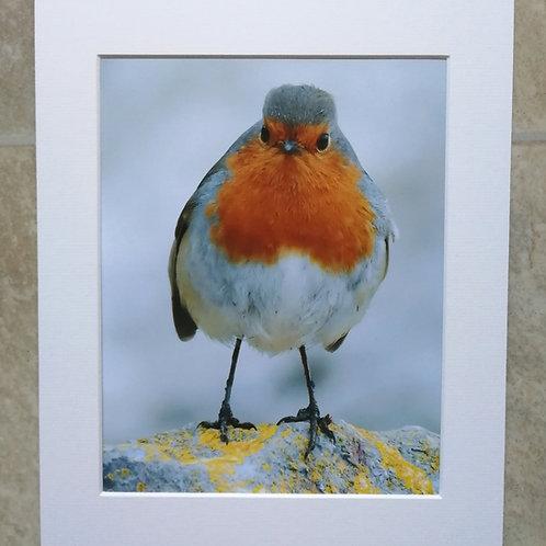 Grumpy Robin on a rock - 10x8 mounted print