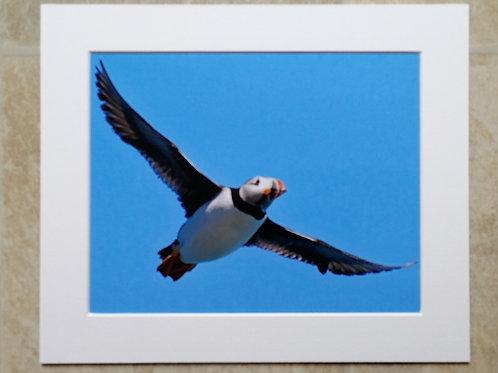 Puffin overhead - 10x8 mounted print