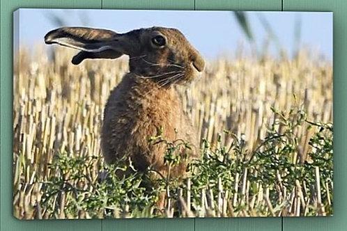 12x8 canvas print - Hare portrait