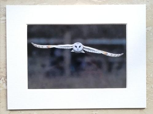 Barn Owl Approach - 6x4 mounted print
