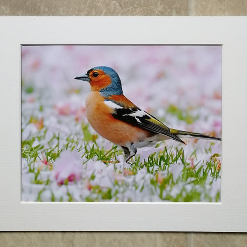 Chaffinch in the pink - 10x8 mounted print