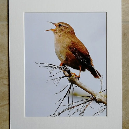 Wren in song - 10x8 mounted print