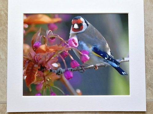 Goldfinch in cherry blossom - 10x8 mounted print