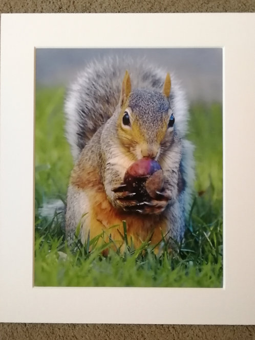 SPECIAL OFFER - 10x8 mounted print, Squirrel and Conker