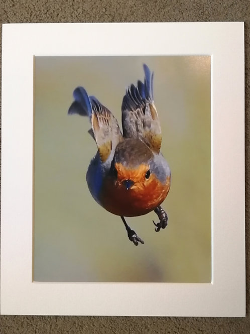10x8 mounted print, Super Robin
