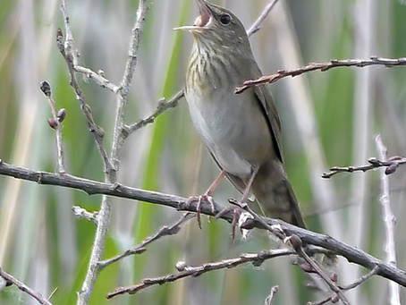 Only a bloomin' River Warbler in Somerset!
