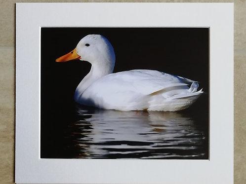White Mallard - 10x8 mounted print