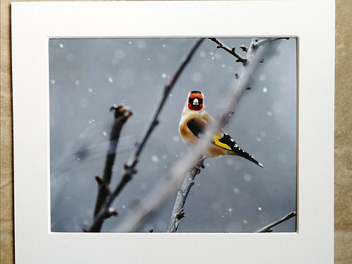 Goldfinch in the snow - 10x8 mounted print