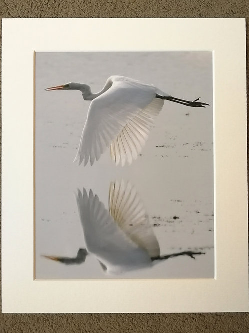 SPECIAL OFFER - 10x8 mounted print, Great White Egret reflection