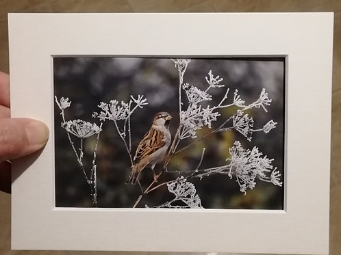 House Sparrow and frost - 6x4 mounted print