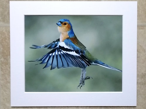 Chaffinch lift-off - 10x8 mounted print
