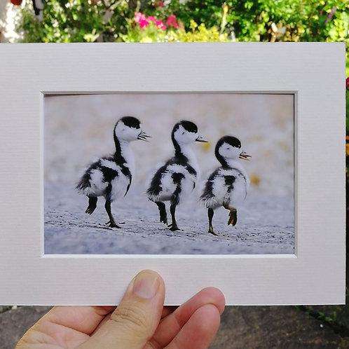 Set of 4 Shelduck chicks 6x4 mounted prints