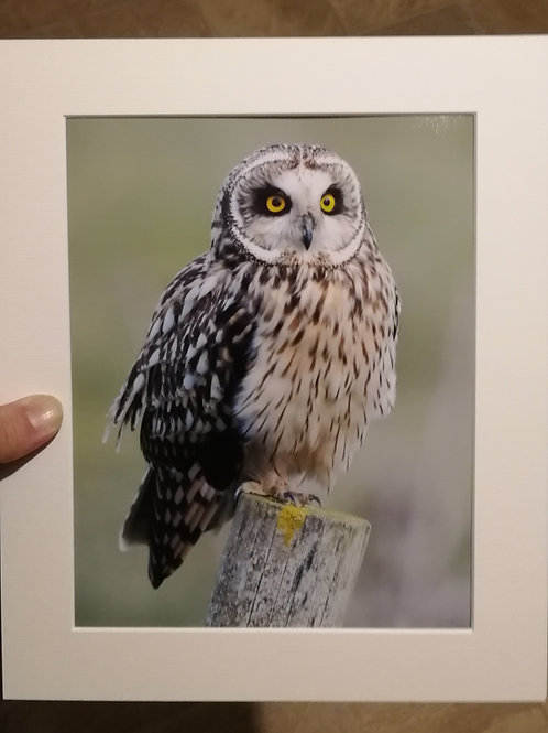 Short Eared Owl on a post - 10x8 mounted print