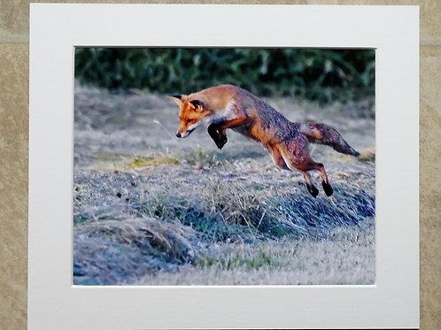 Leaping Fox - 10x8 mounted print
