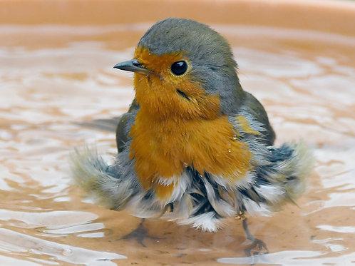Digital print - Robin having a bath