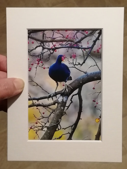 Moorhen in a berry tree - 6x4 mounted print
