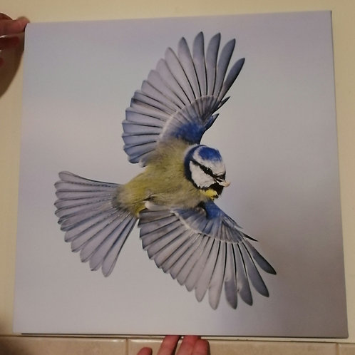 Canvas 16x16 - Blue Tit wings