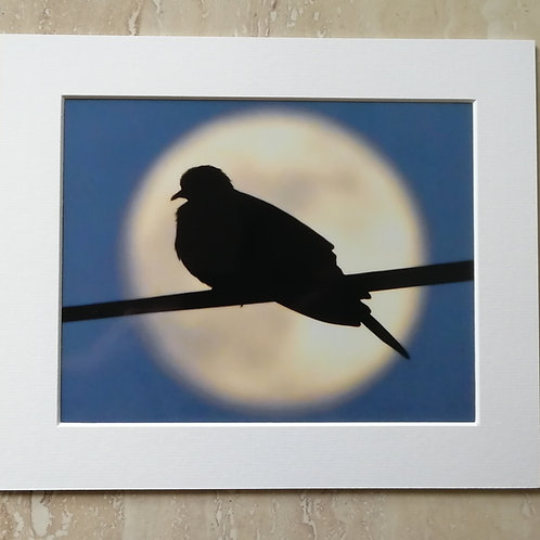 'Moon Dove' 10x8 signed and mounted print